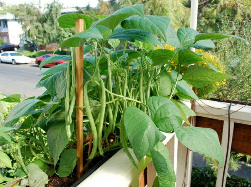 Gemüse anbauen om Topf Buschbohne