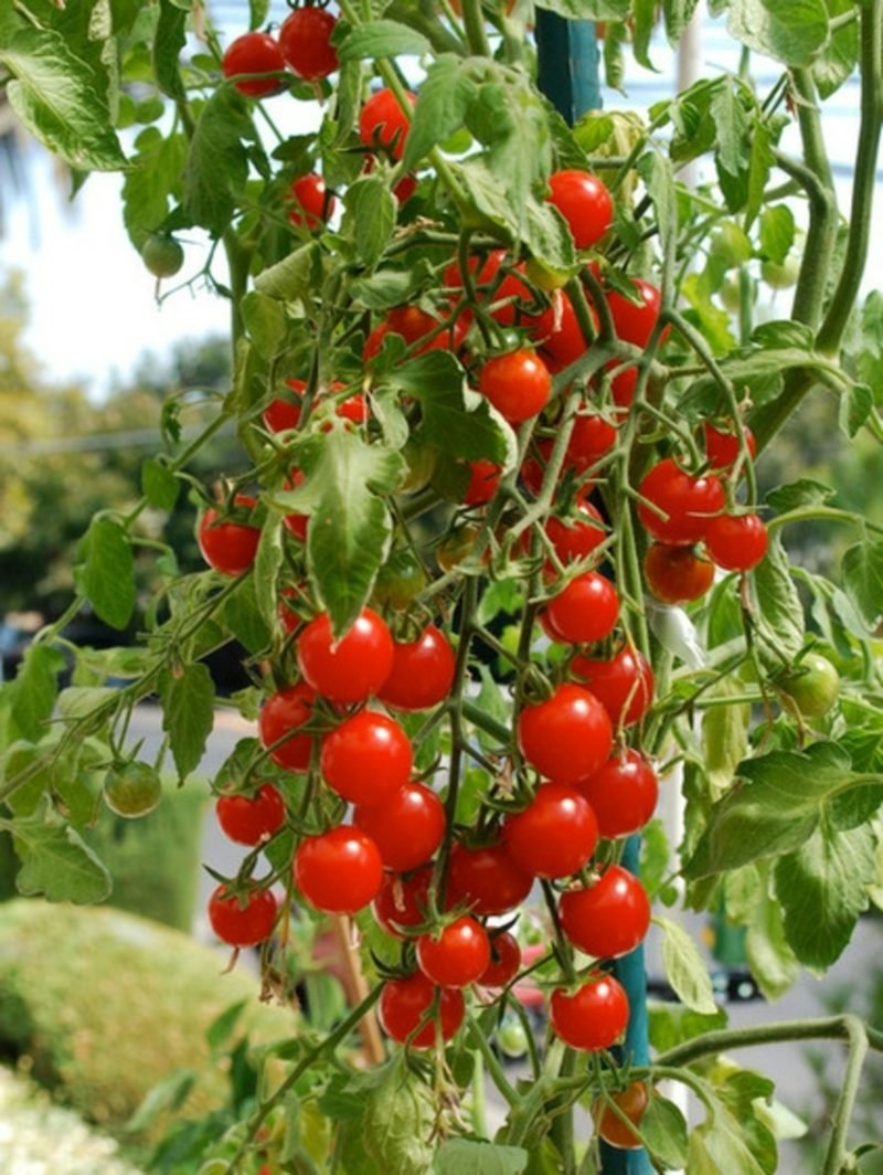 Gemüse anbauen Balkongarten Cherry Tomaten