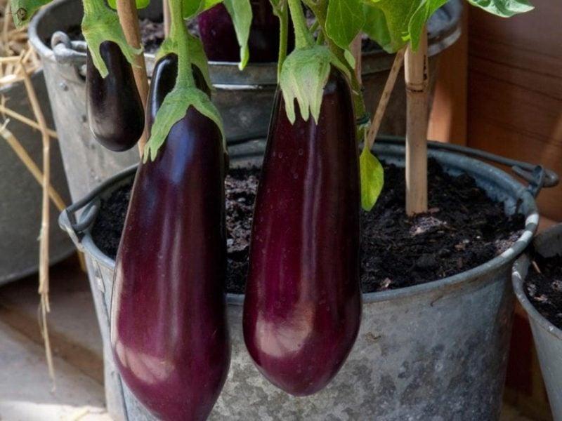 Gemüse anbauen Blumentopf Aubergine