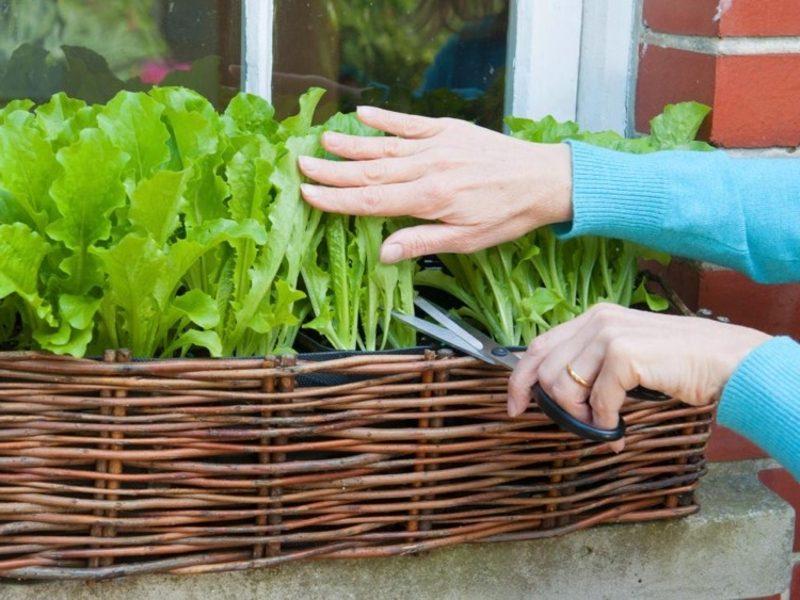Gemüse anbauen auf dem Balkon Salat