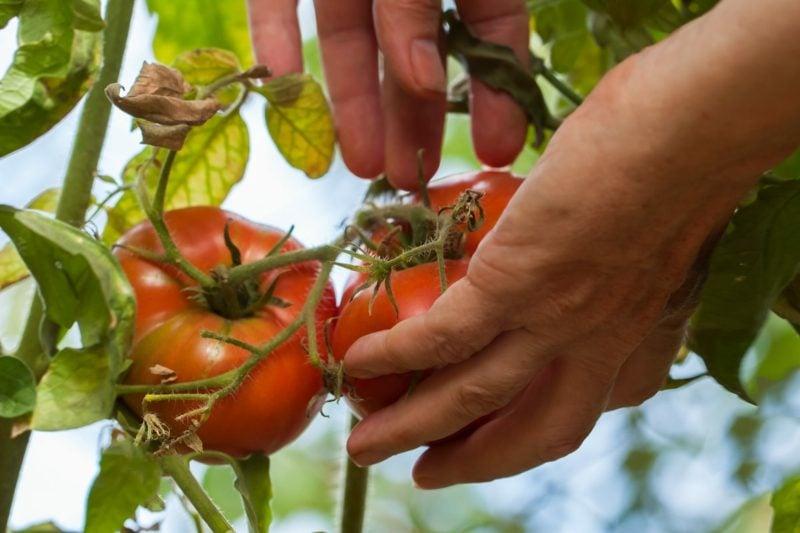 Gewächshaus bauen Garten Vorteile