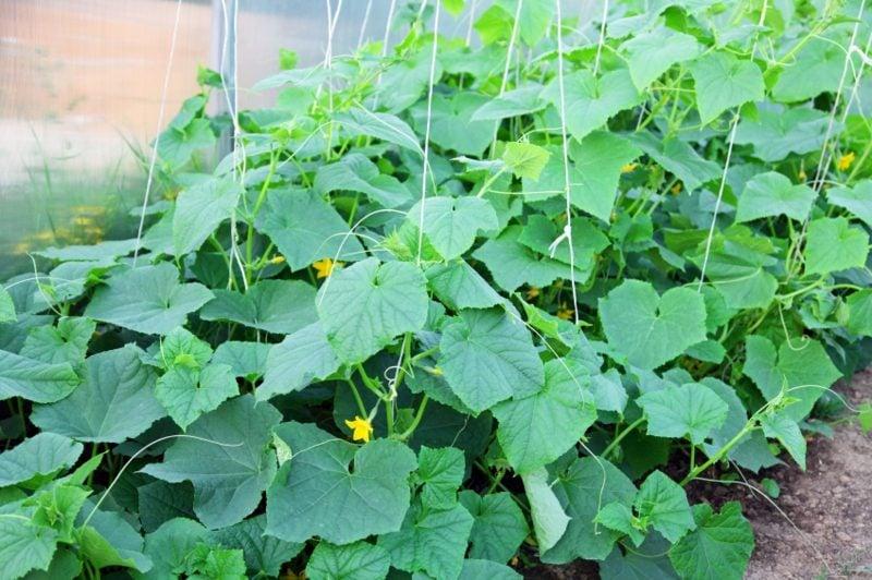 Gemüse anbauen Balkongarten gurken
