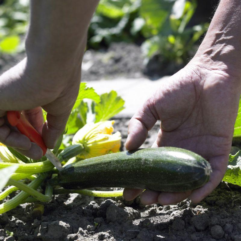 Gemüse anbauen Balkon Zucchini