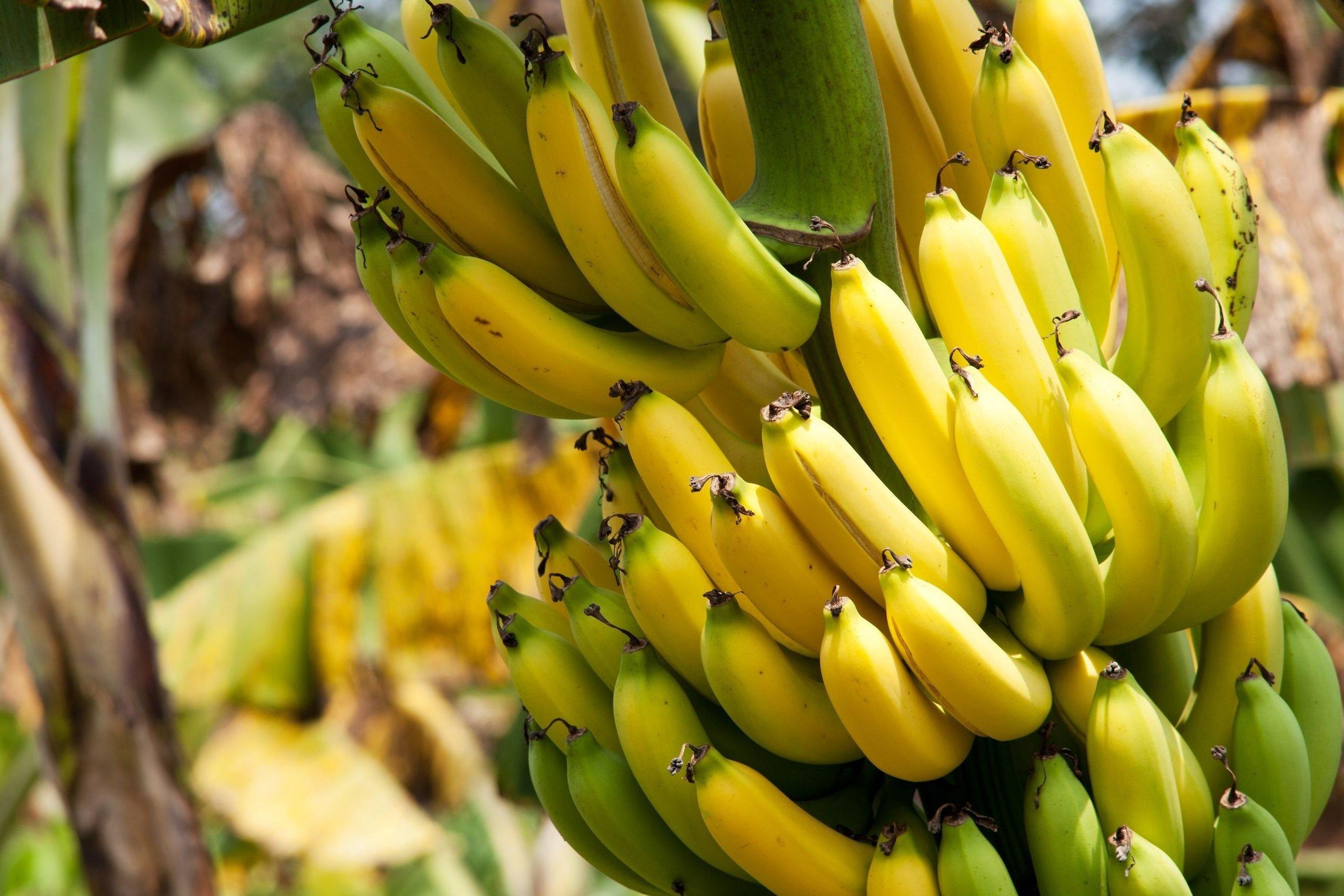Banane - Fastfood unter den Früchten