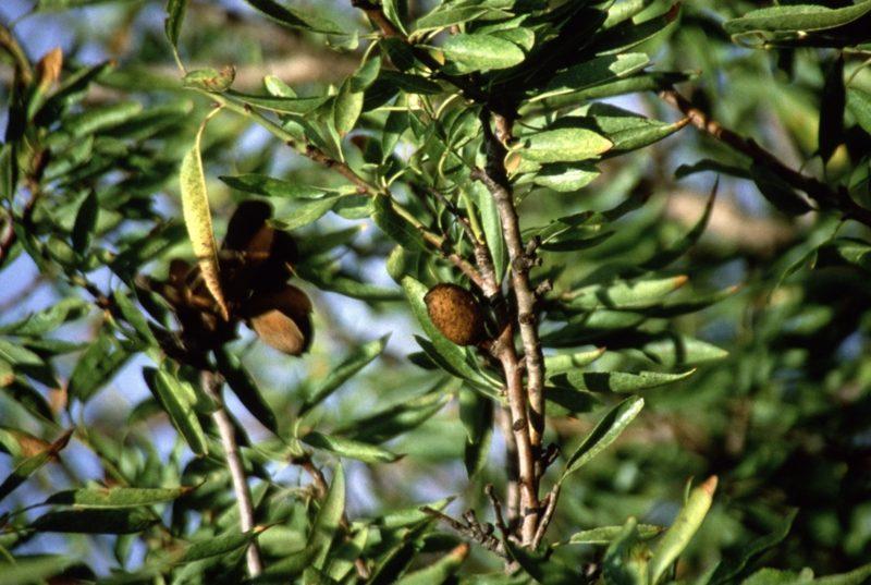 Tonkabone Holz Cumaru