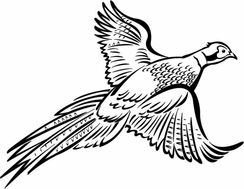 Ausmalbilder zum Ausdrucken Vogel Fasan