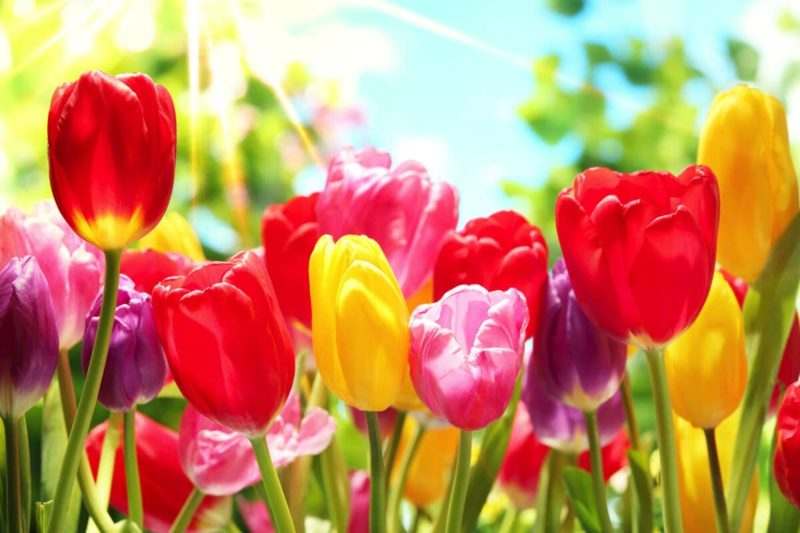 Blumenarten Tulpen Bedeutung