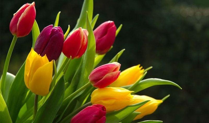 Blumenarten Valentinstag Tulpen schenken