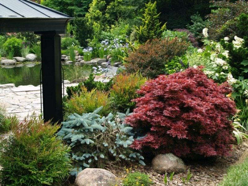 japanischer Ahorn im Garten Buschform