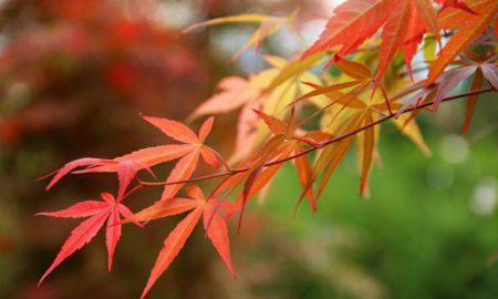 japanischer Ahorn Arten und hilfreiche Pflegetipps