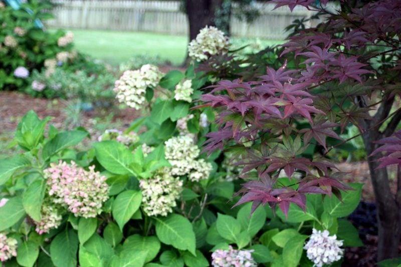 japanischer Ahorn Akzent Gartengestaltung
