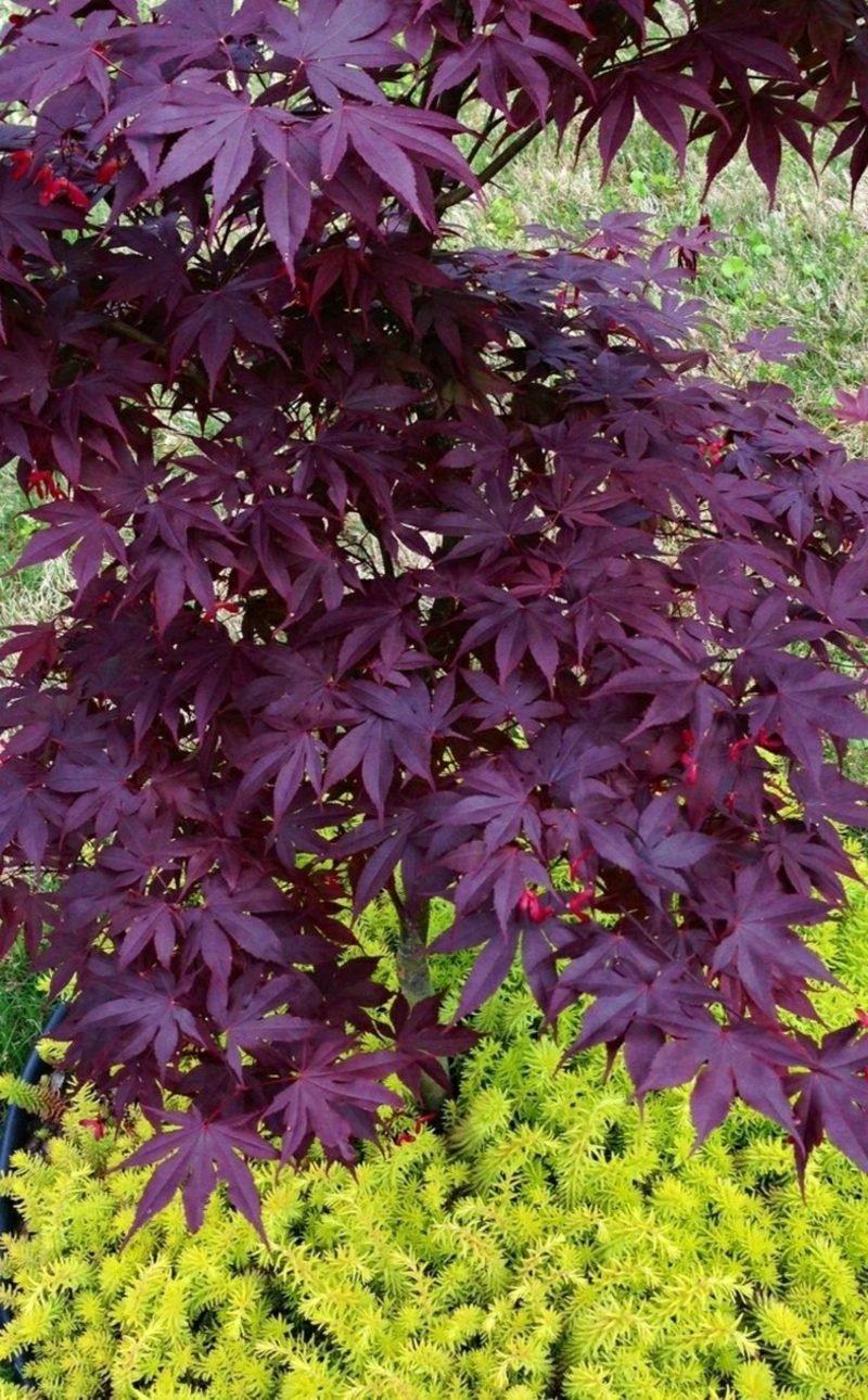 japanischer Ahorn Schlitahorn herrliche purpur Blätter