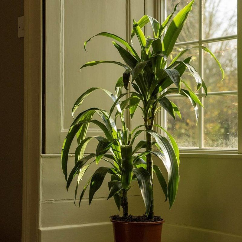 pflegeleichte Palmenarten Dracaena Drachenbaum