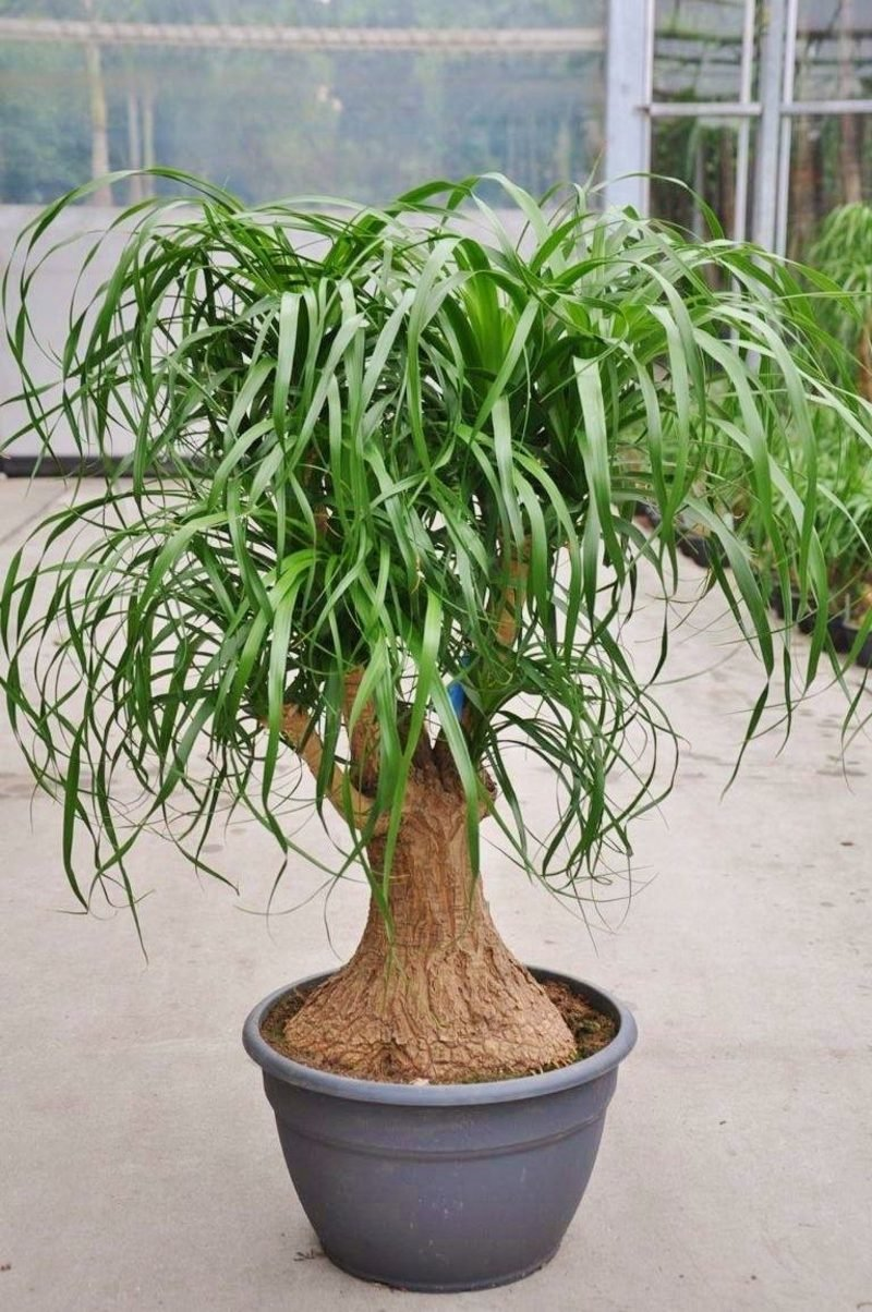 Palmenarten Elefantenfuss Zimmerpflanze