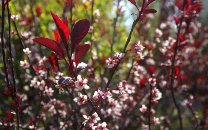 Vorgarten gestalten Pflanzen Blutpflaume