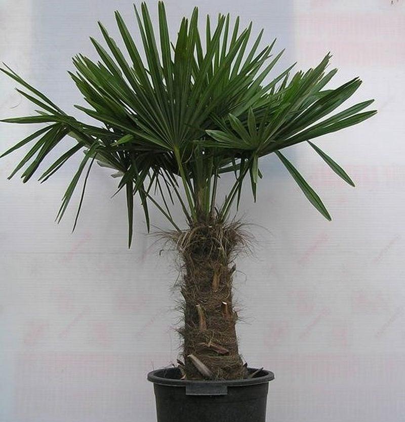 Palmenarten winterhart Hanfpalme