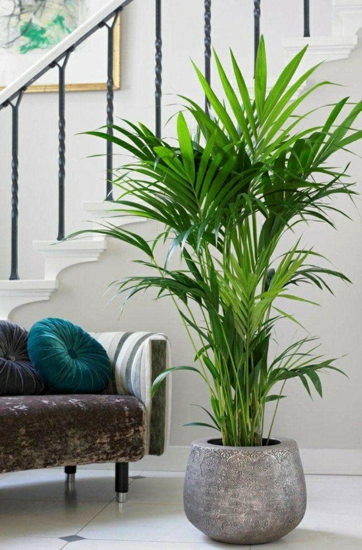 Palmenarten Zimmerpflanzen Kentia Palme