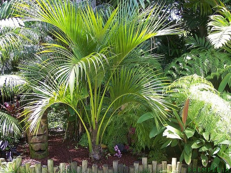 Palmenarten Kentia Palme