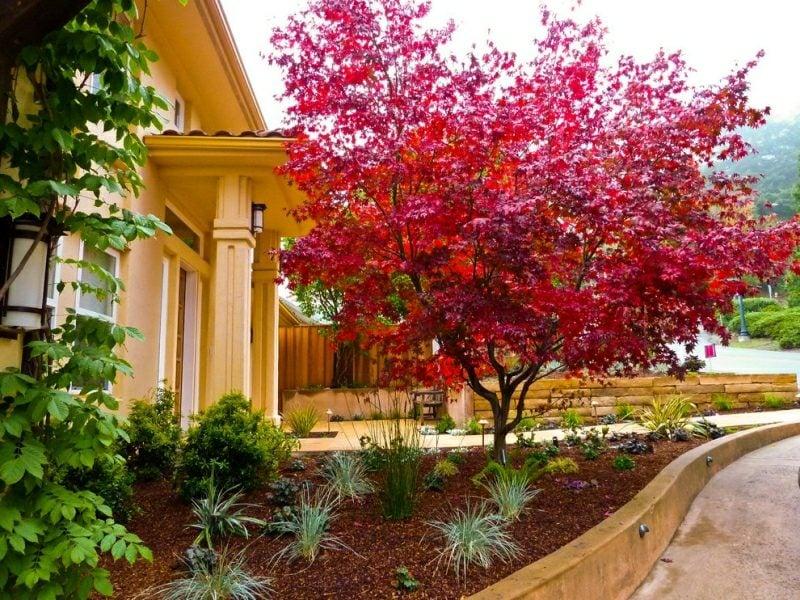 Vorgarten gestalten Pflanzen japanischer Ahorn