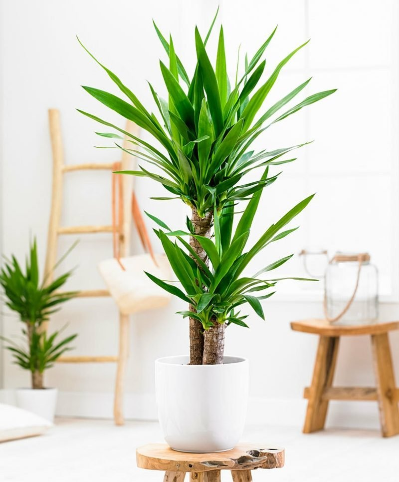Palmenarten Yucca