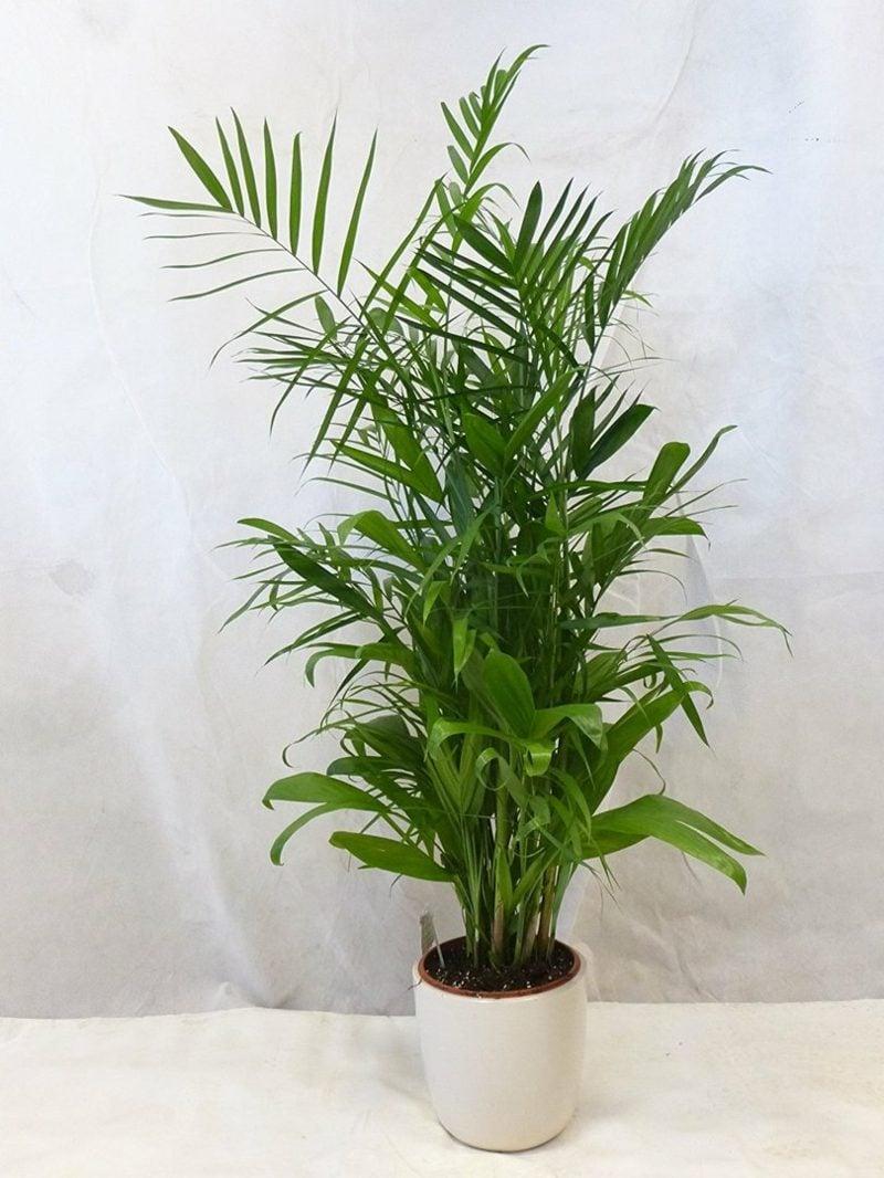 Palmenarten pflegeleicht Bambuspalme