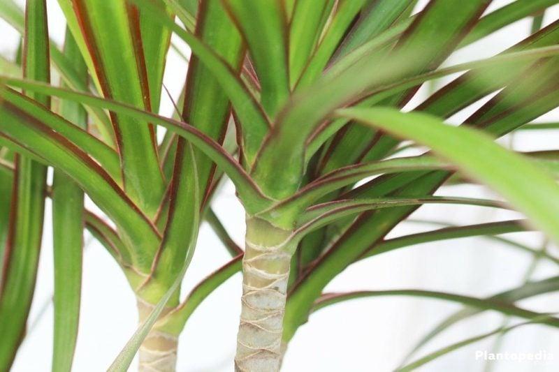 Palmenarten Innenbereich Dracaena