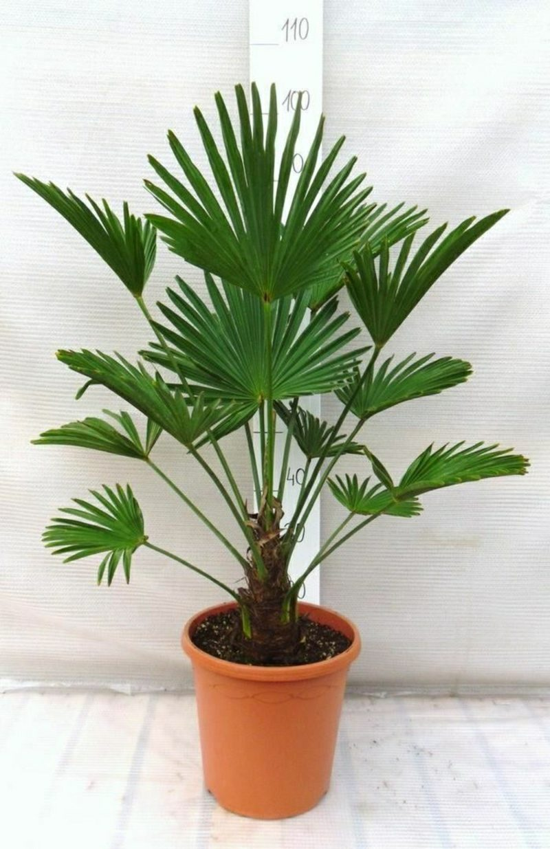 Palmenarten Innenbereich Hanfpalme