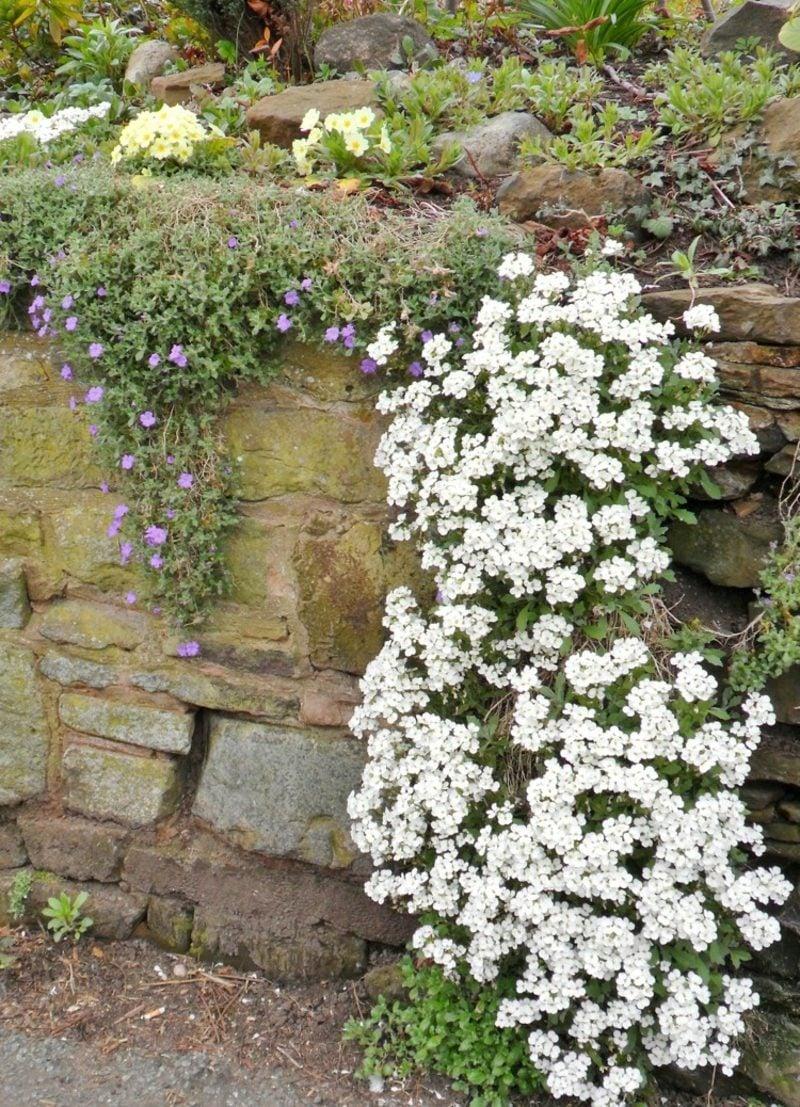 Trockenmauer bepflanzen Pflanzenarten Gänsekresse