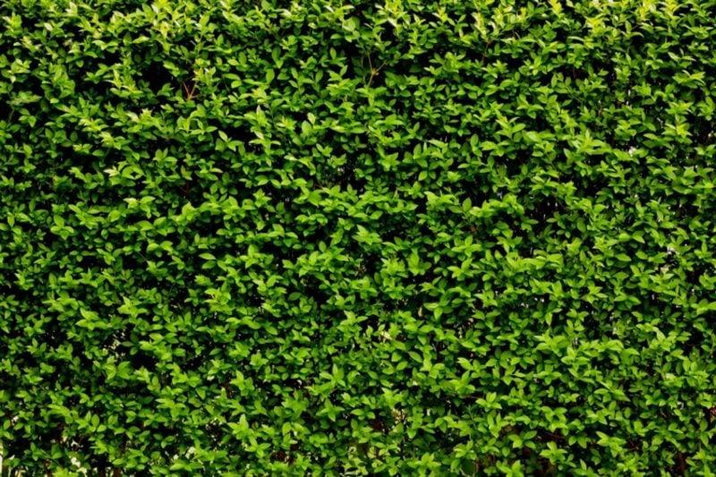 Ligusterhecke richtig pflegen Sichtschutz im Garten