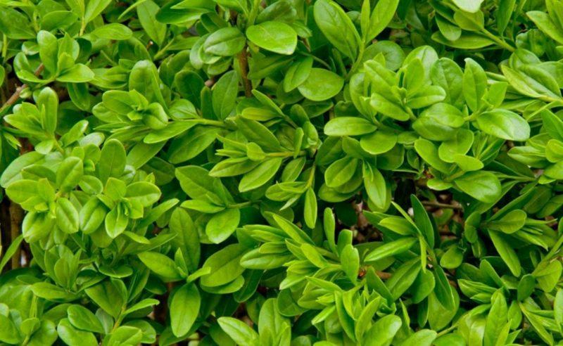 Ligusterhecke pflanzen Sorten