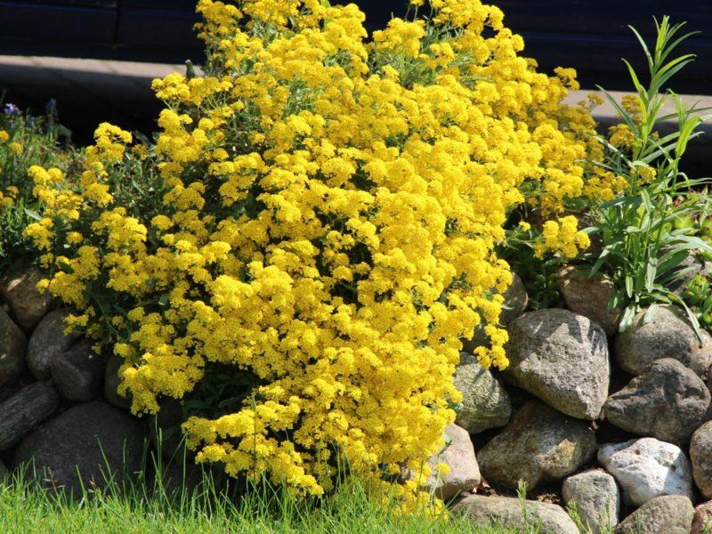 Trockenmauer bepflanzen Blumenarten Steinkraut