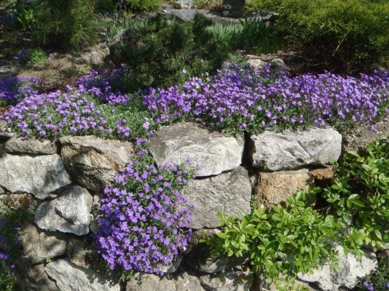 Trockenmauer bepflanzen lila Blaukissen