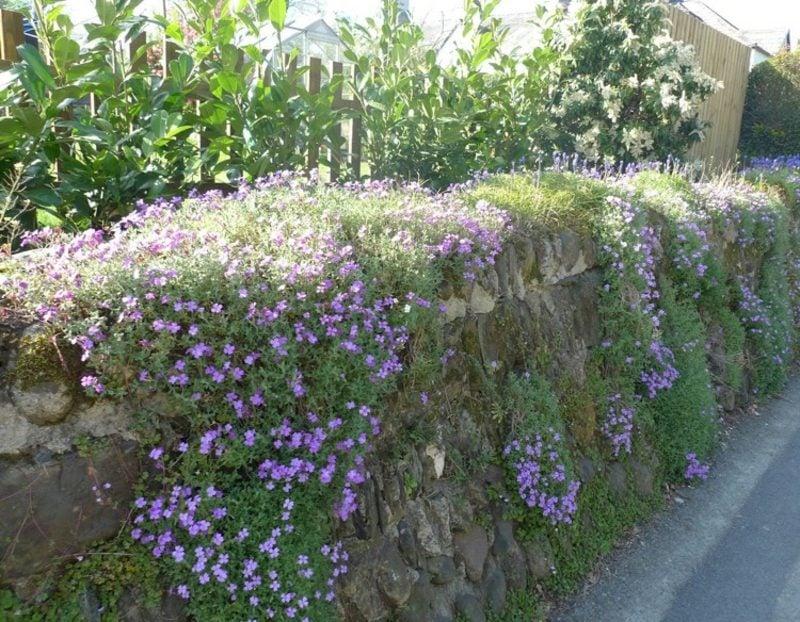 Trockenmauer Stein bepflanzen Blaukissen