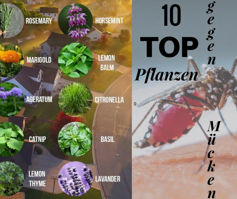 Mücken und Fliegen vertreiben mit Pflanzen