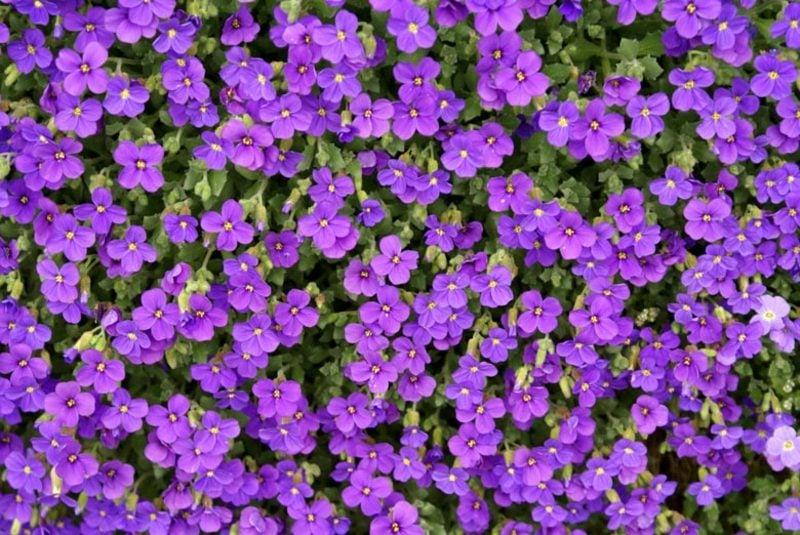 Trockenmauer bepflanzen griechischisches Blaukissen