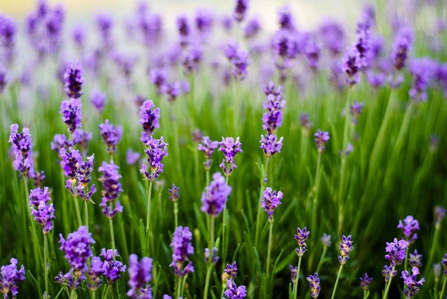 Pflanzen gegen Mücken - Lavendel
