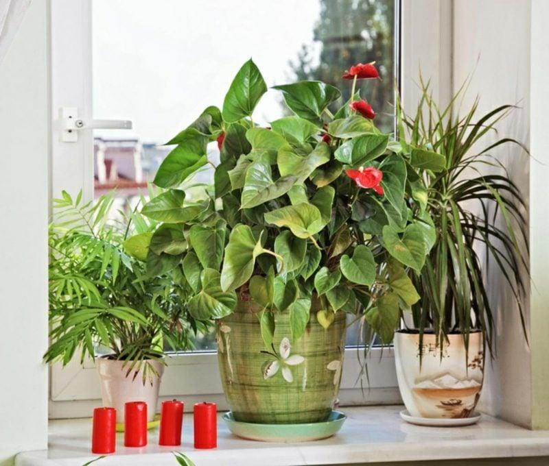 Fensterbank innen Begonie rote Blühten
