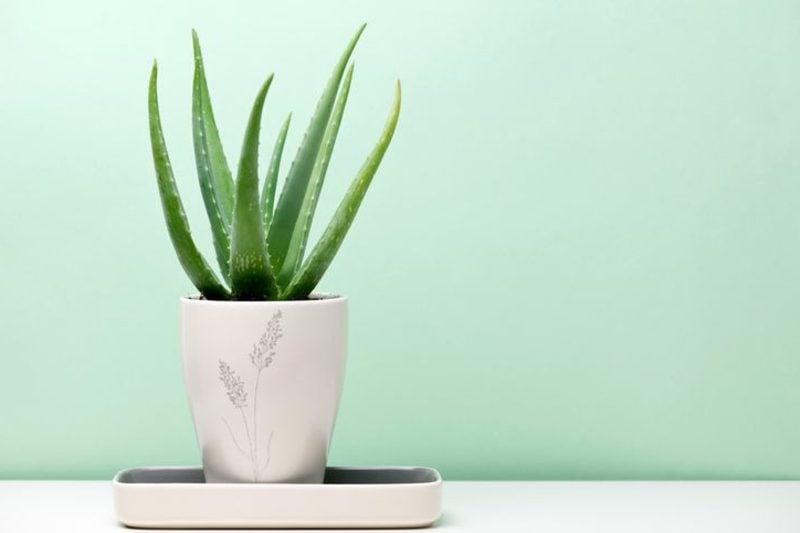 Pflanzen im Schlafzimmer Aloe Vera Blumentopf
