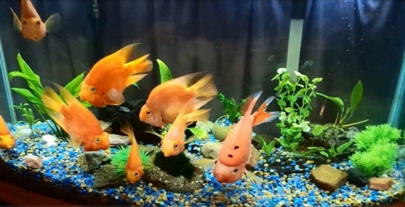 Aquarium Deko farbige Steinchen Goldfische