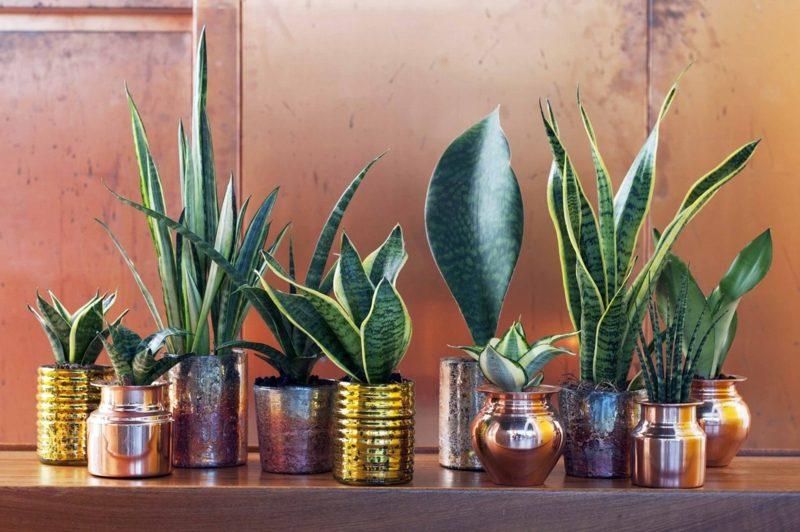 Pflanzen im Schlafzimmer Bogenhanf verschiede Arten