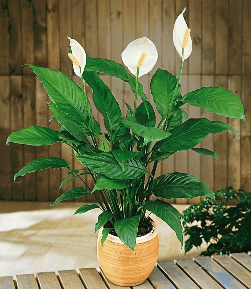 Pflanzen im Schlafzimmer Einblatt attraktiver Look