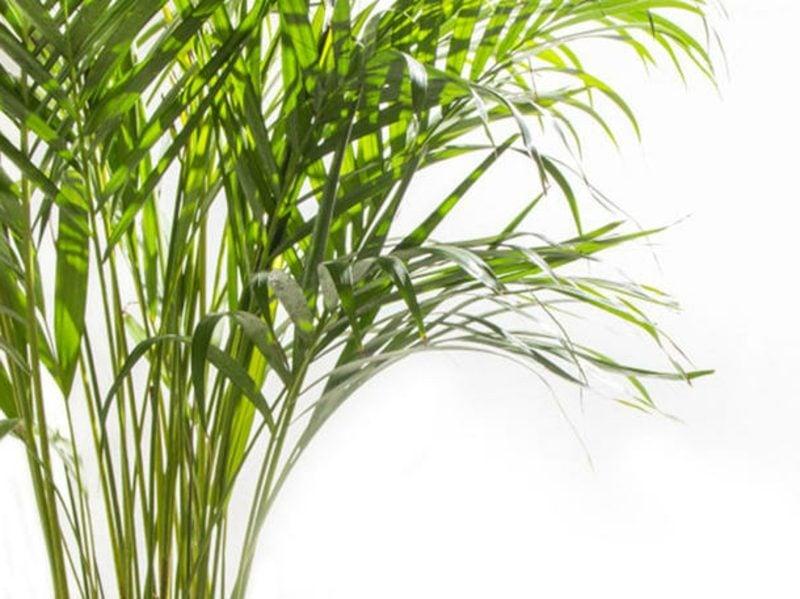 Pflanzen im Schlafzimmer Goldfruchtpalme macht die Luft feuchter