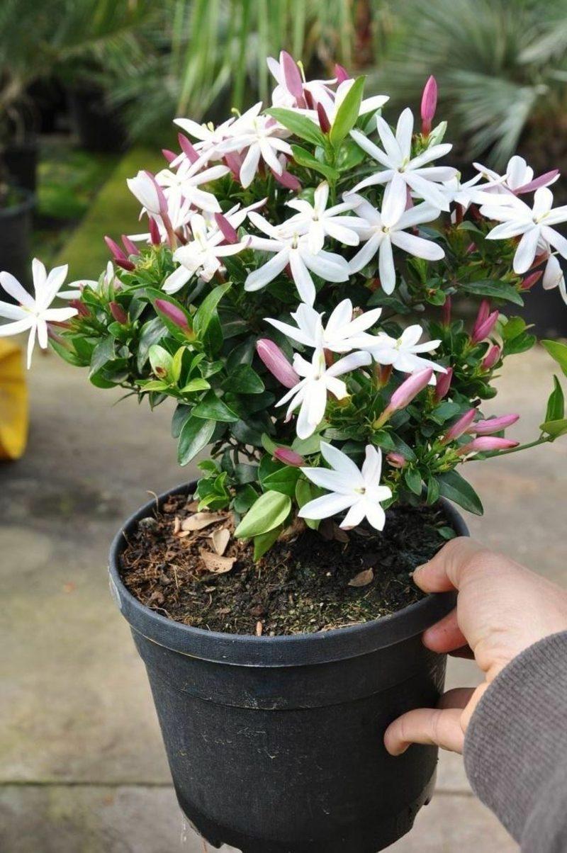 Pflanzen im Schlafzimmer pinker Jasmin Blumentopf