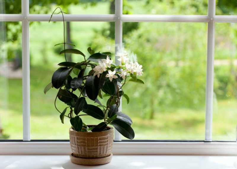 Pflanzen im Schlafzimmer pinker Jasmin sonnenliebend