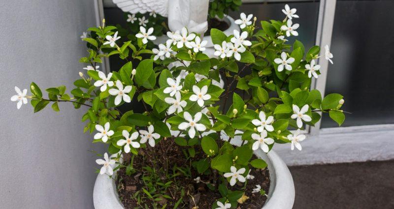 Pflanzen im Schlafzimmer pinker Jasmin entspannende Wirkung