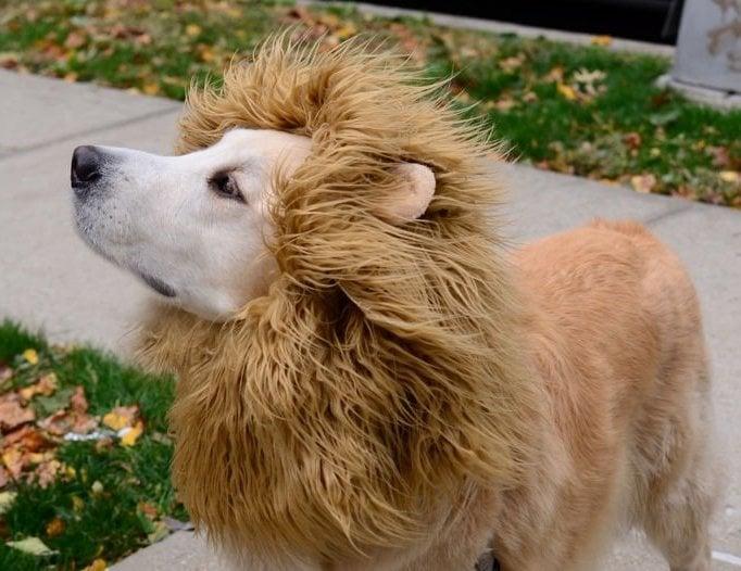 Halloween Kostüme selbstgemacht für Tiere: Löwe