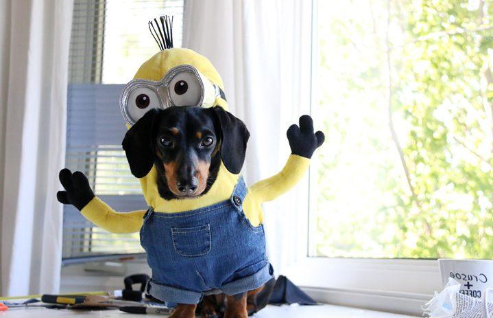 Halloween Kostüme selbstgemacht für Tiere: Minion Kostüm