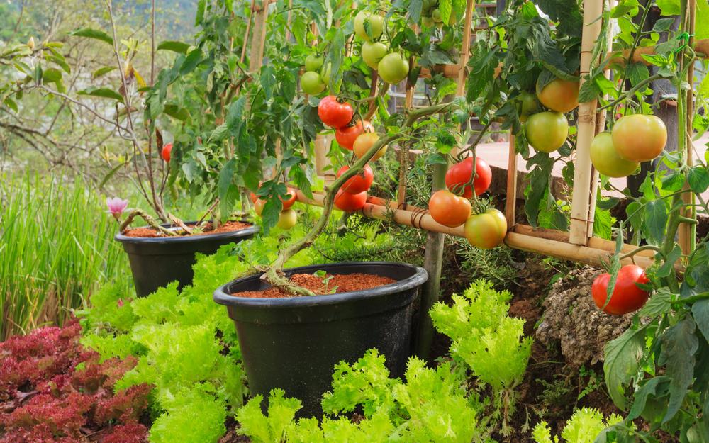 Gemüse anbauen Sorten auswählen Tomaten