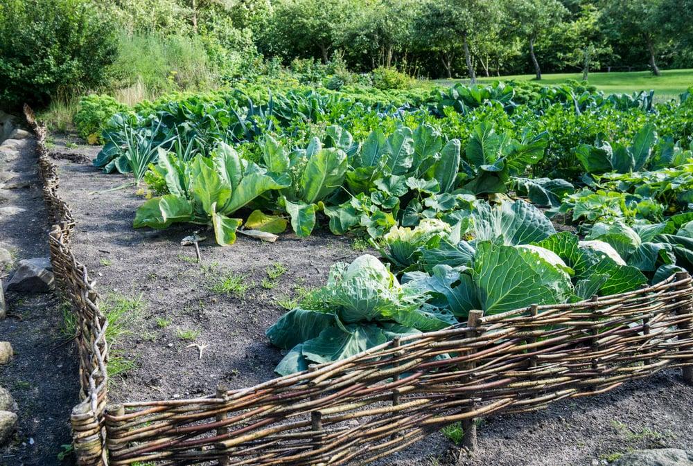 Kohl anbauen Garten Zaun