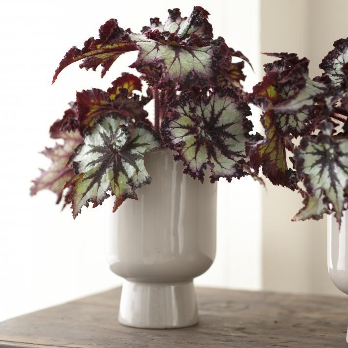 Balkonpflanzen Begonie wunderschöne Blätter